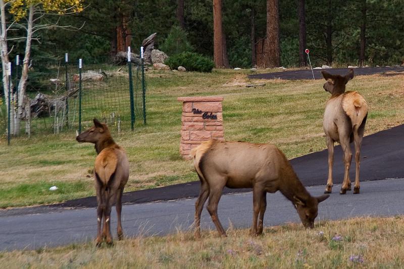 Elk Females 2.jpg
