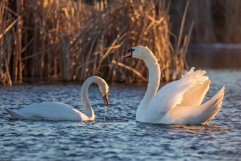 Swans at Sunset.jpg