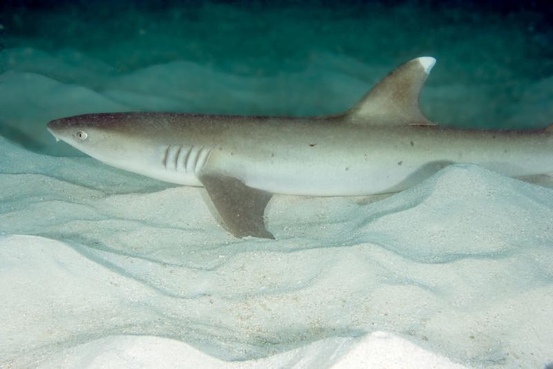 White Tip Reef Shark.jpg