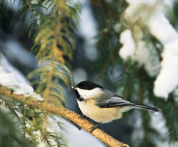 Black-capped Chickadee  Taken Decmber 24, 2010 Elk Island Retreat Near Fort Saskatchewan, Alberta