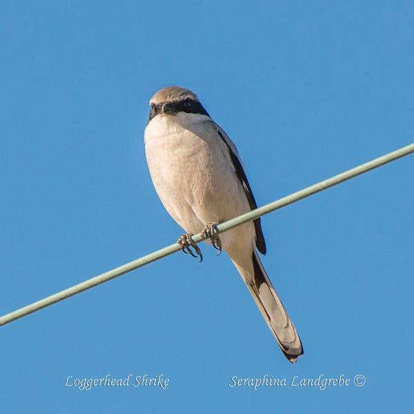 _DSC8827Loggerhead Shrike.jpg