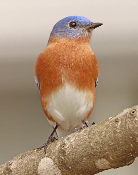bluebird 12 11 x 14.jpg