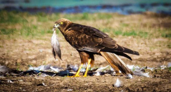 Birding in Israel 2018