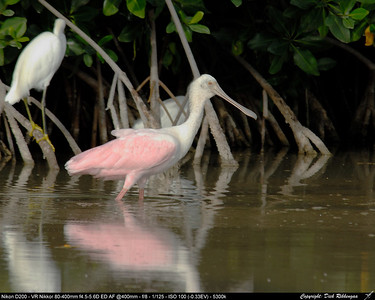 Spoonbills, Flamingo's and such
