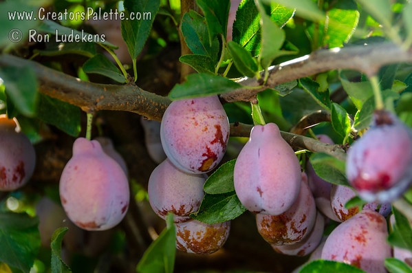 French Improved Prune - Prunus x domestica
