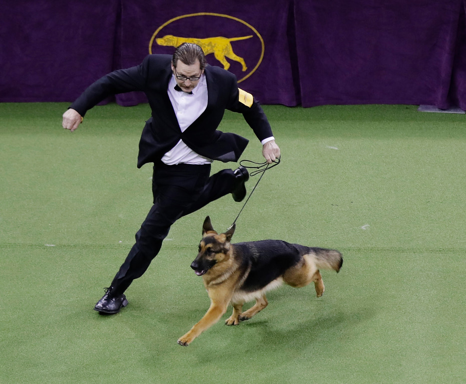 . A handler guides Rumor, a German shepherd who later won Best in Show, at the 141st Westminster Kennel Club Dog Show on Tuesday, Feb. 14, 2017, in New York. (AP Photo/Frank Franklin II)