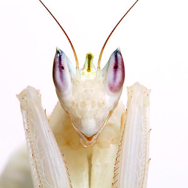 Orchid Mantis Portrait 2.jpg