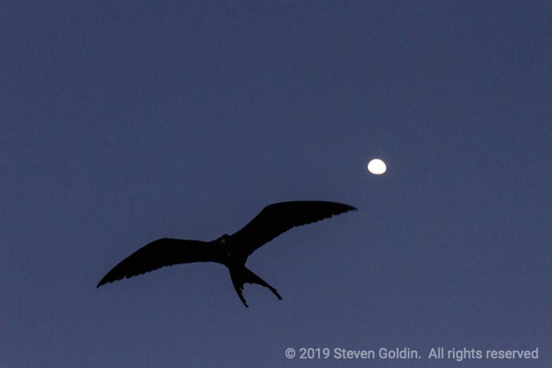 Frigate bird at dusk