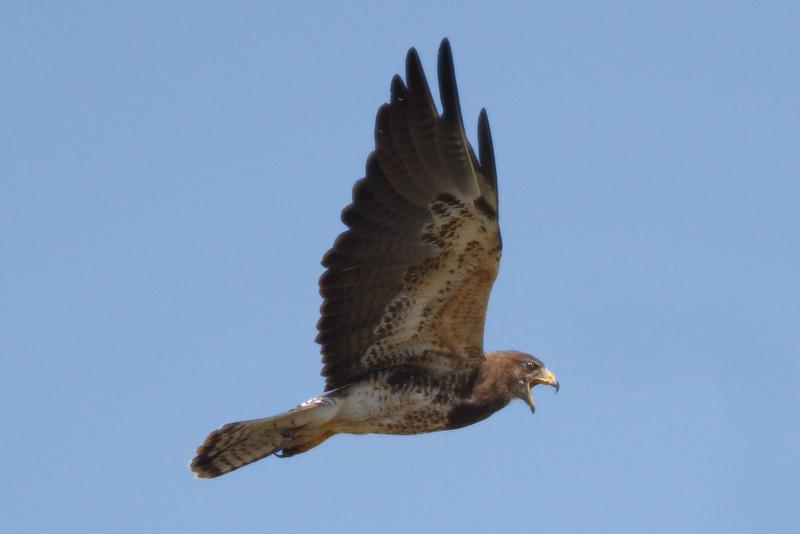 Swainson's Hawk intermediate morph adult (4) at Firebaugh, CA (07-18-2009)