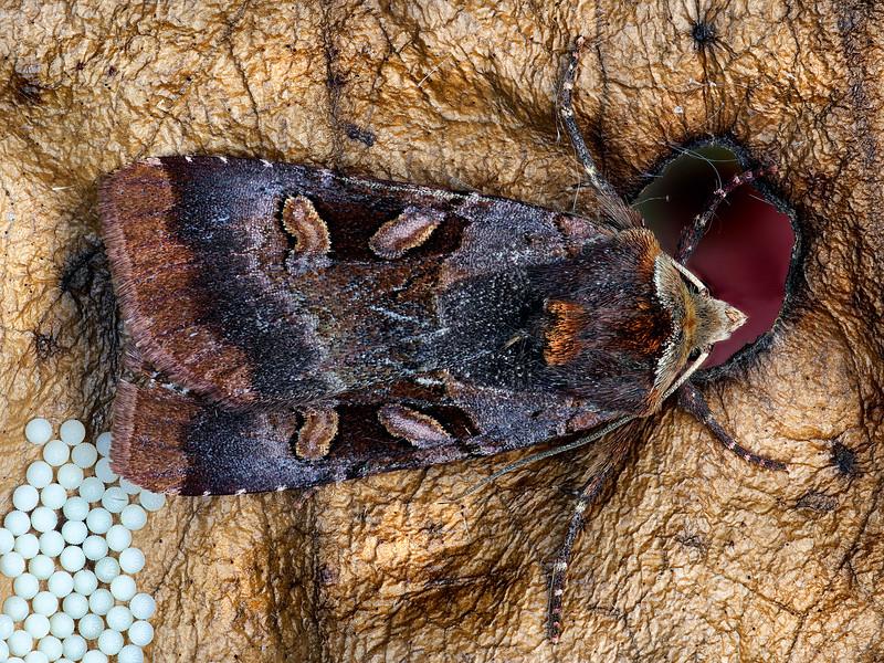 Rosy Dart Moth