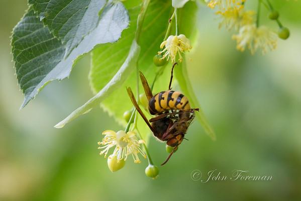 European Common Wasps