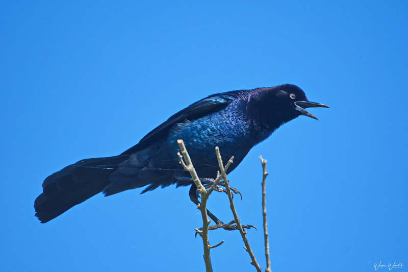 Boat-tailed Grackle (male)