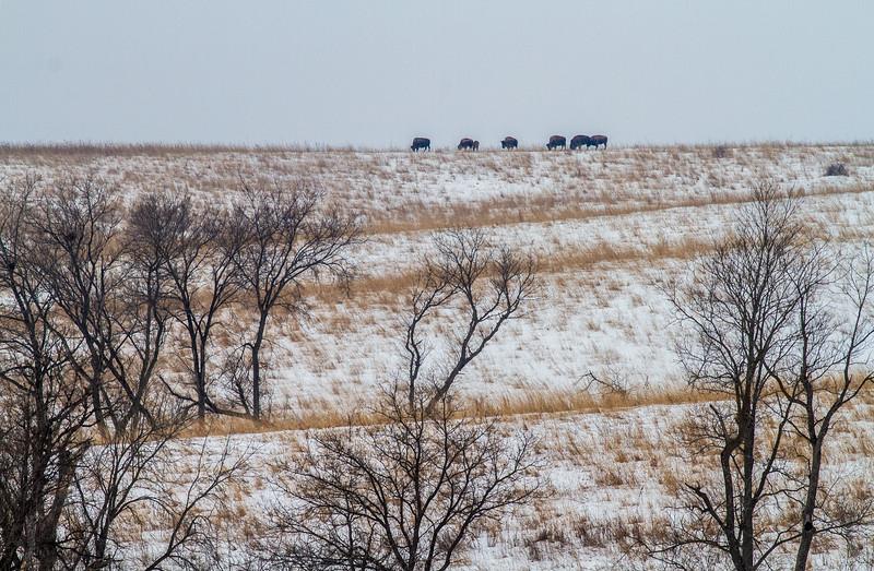 Bison Neal Smith National Wildlife Refuge NWR Prairie City IA  IMG_1826.jpg