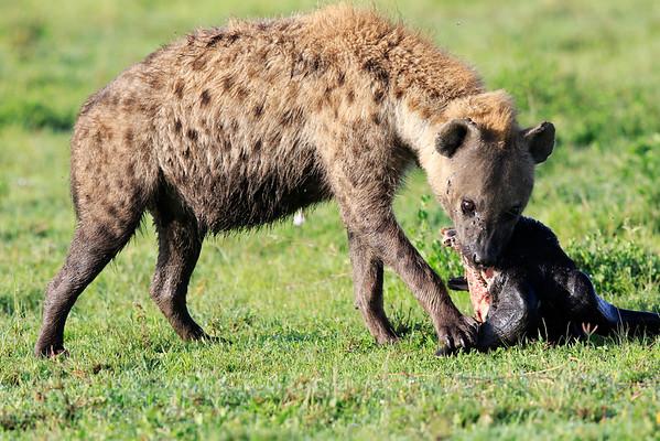 Spotted Hyena Tanzania 2016