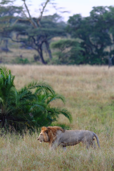 Male Lion in the Grass.JPG