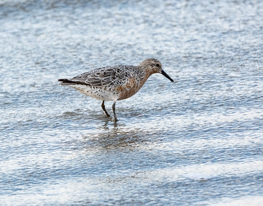 Redknots-Migratory Birds