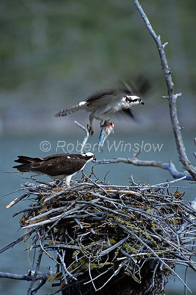 Osprey, Pandion haliaetus, on a nest, Southwestern Montana, Colorado, USA, North America