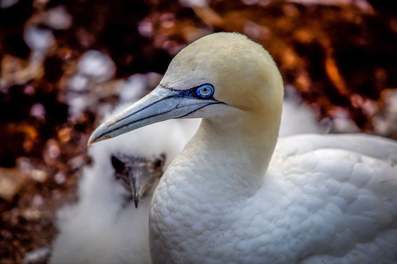 Gannet mother and chick