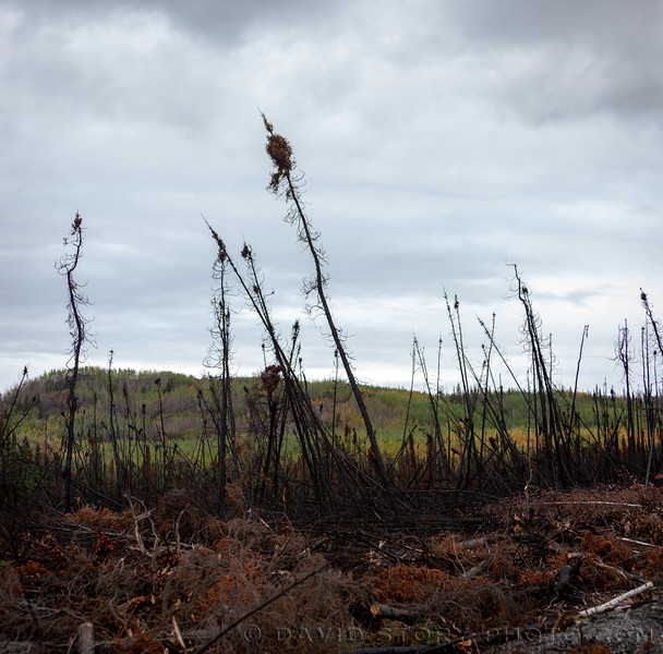2019 09 21: Black spruce snags scorched by the 2019 Swan Lake Fire. Kenai National Wildlife Refuge, AK.