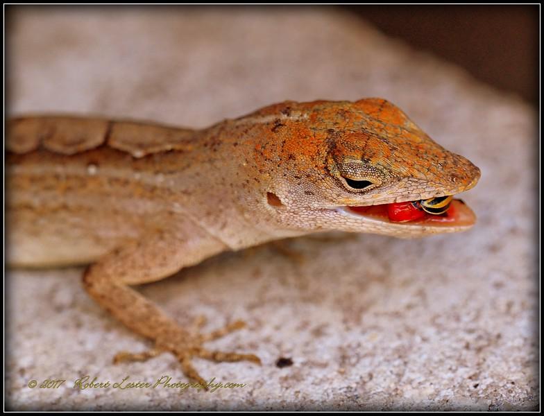 2017-04-19_P4190029_ anole lizard,Clwtr,fl.JPG
