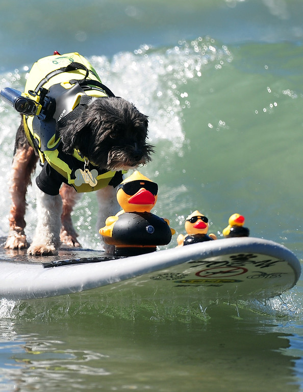 . Surf dog Toby rides a wave with a trio of rubber duckies during the 5th Annual Surf Dog competition at Huntington Beach, California, on September 29, 2013.  AFP PHOTO/Frederic J. BROWN/AFP/Getty Images