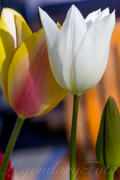 Pink, Yellow, and White Tulip
