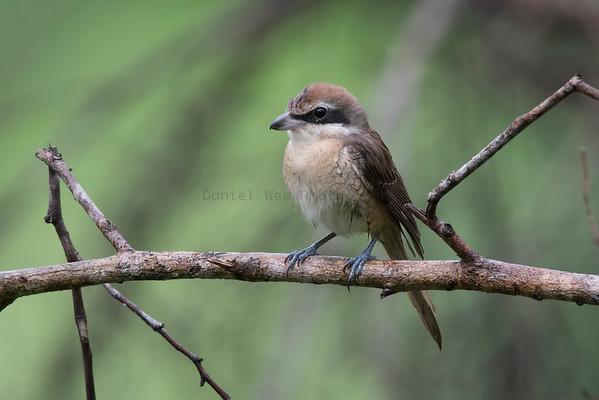 Shrike (3 Species)