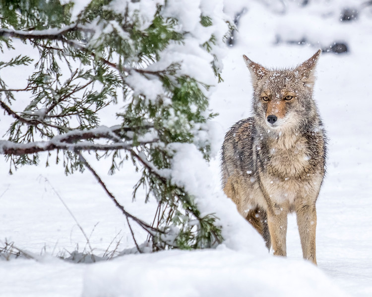 Coyote 16x 20.jpg