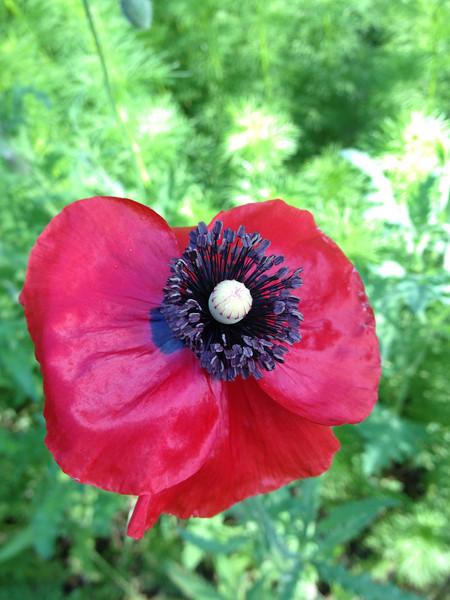 Herb Poppy