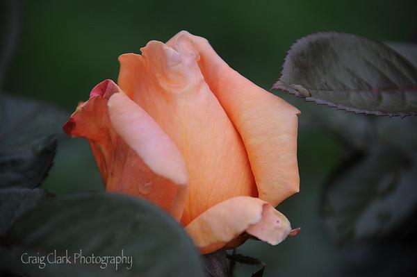 Rose Garden June 2012