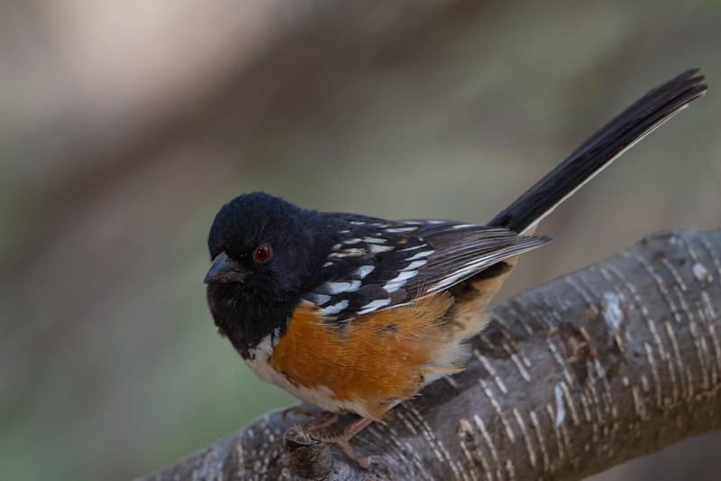 Spotted Towhee - Carr Canyon, AZ, USA