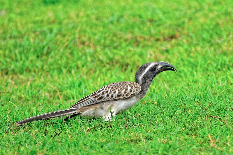 African Grey Hornbill.JPG
