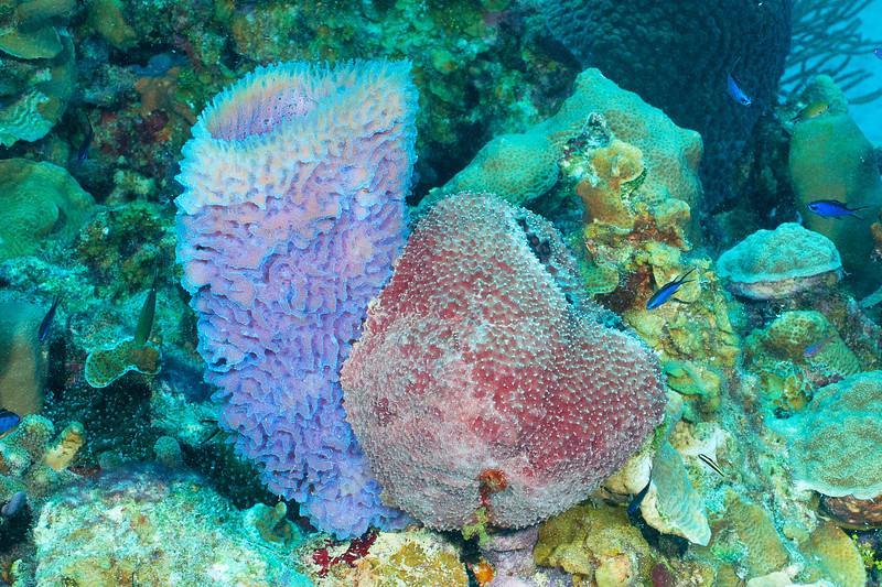 Azure Vase Sponge and Loggerhead (?) sponge