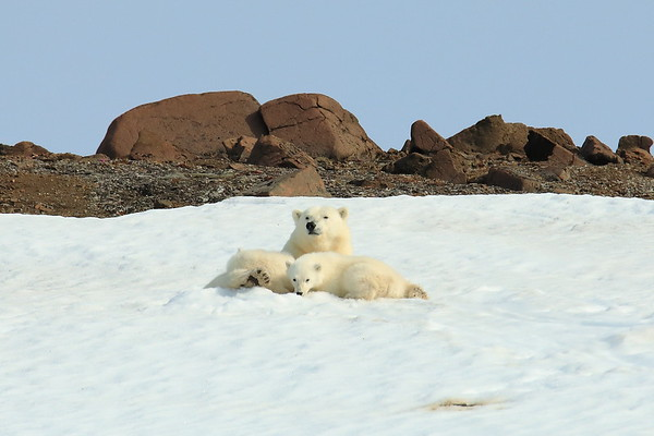 Mom Polar Bear with 2 cubs Svalbard Norway 2018