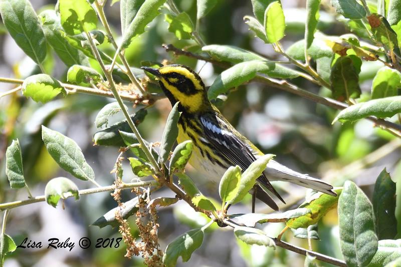 Townsend's Warbler  - 05/05/2018 - Sabre Springs Creek Trail