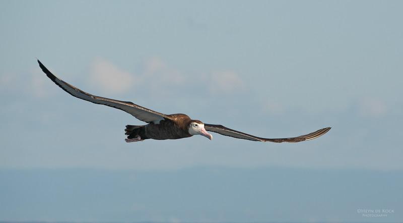 Wandering Albatross, Wollongong Pelagic, NSW, Aus, Jul 2013-1.jpg
