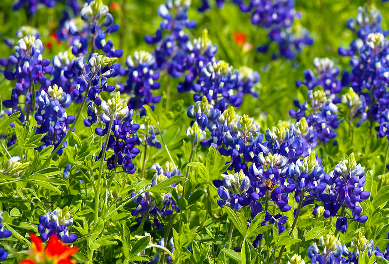 And, of course, the Hill Country's famed Bluebonnets.