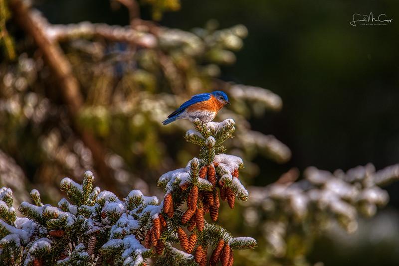 Blue Bird_.jpg