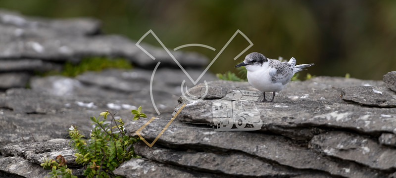 Active juvenile tern of the white-fronted tern colony at Pancake rocks, New Zealand.