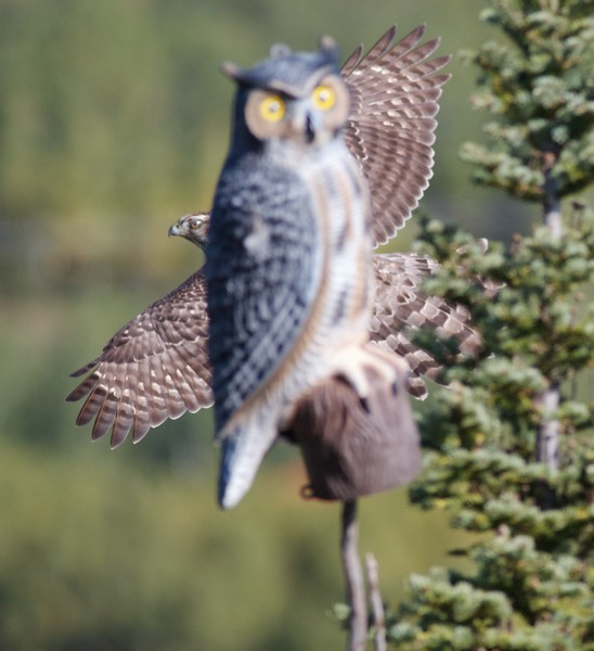 Northern Goshawk juv Hawk Ridge Duluth MN IMG_0049862.jpg