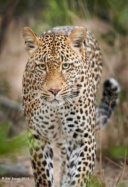 Leopard Stare.jpg