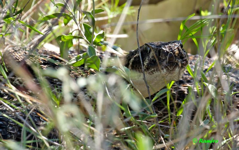 Rattlesnake1 IMG_3148.jpg