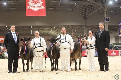 Royal Jersey Heifer Show 2018