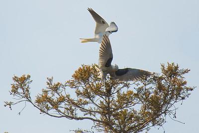 180209 Clayton Wildlife - White Tailed Kite Turf Battle