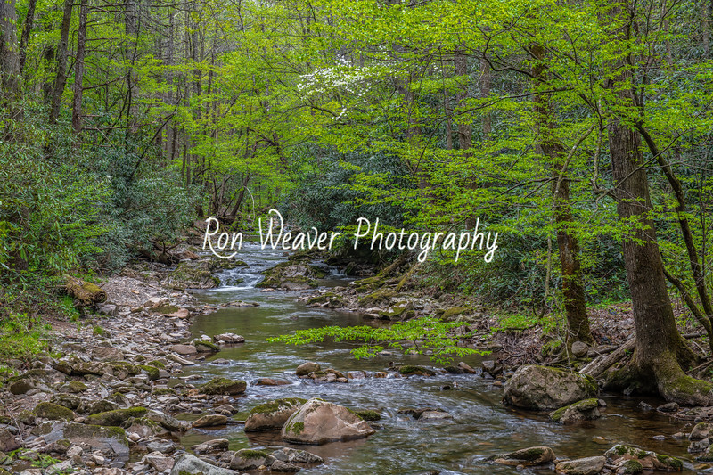 Dogwood Blooming on Clarks Creek