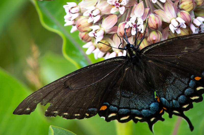 Butterfly Brawls