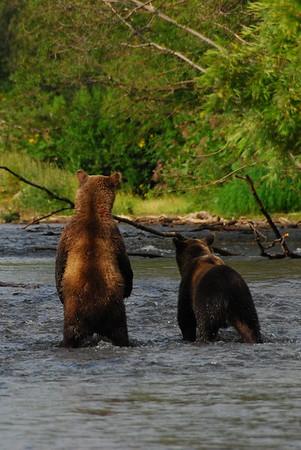 Kamchatka Bears