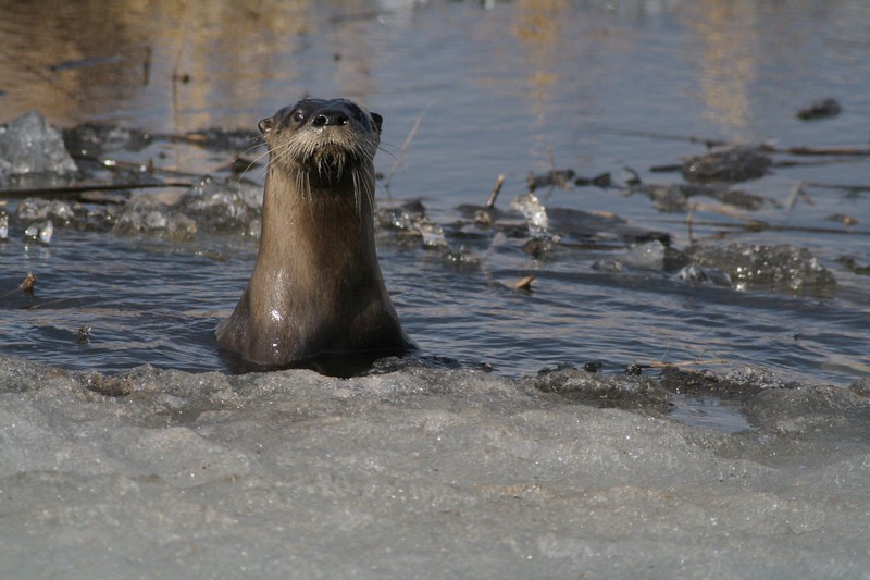 River Otters do not go dormant in winter. They can often be found far from water too [April; Crex Meadows, near Grantsburg, Wisconsin]
