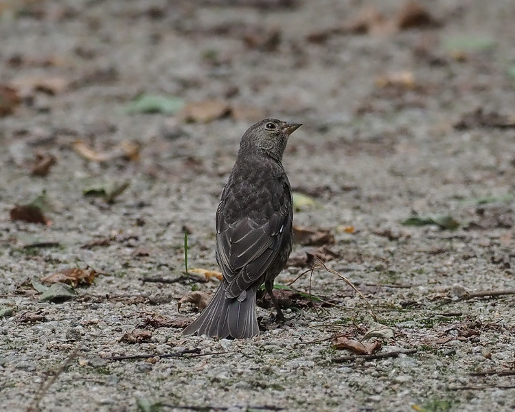 Young Brown-headed Cowbird