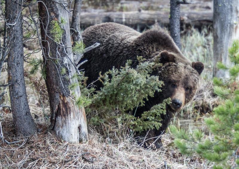 Grizzly bear boar male Yellowstone National Park WY IMG_0473.jpg